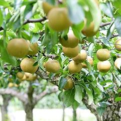 大野農園の梨(豊水)5kg